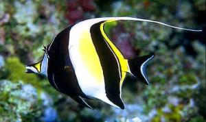 рыба идол
